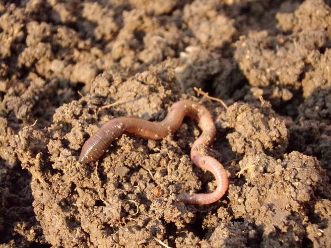 earth worms creating soil fertility